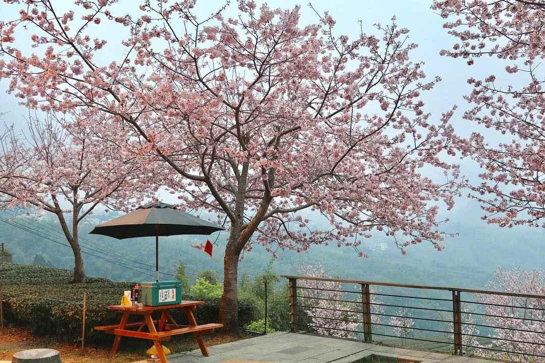 阿里山賞櫻 林記茶山