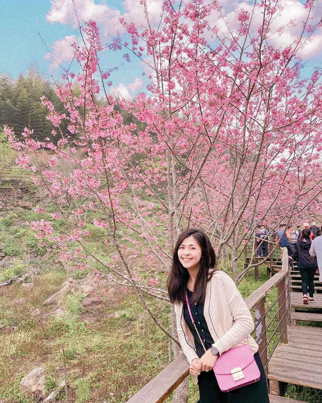 阿里山賞櫻 頂石棹旅遊服務站