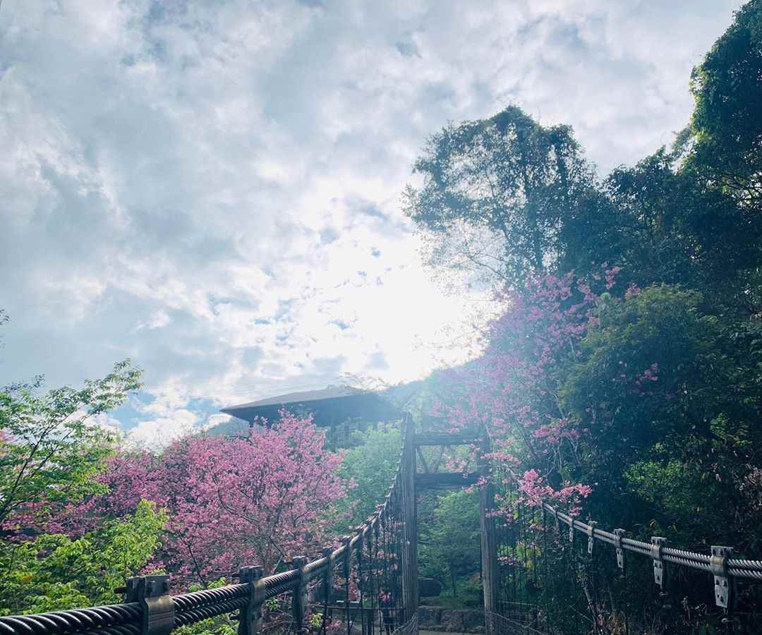 阿里山賞櫻 迷糊步道 樂米吊橋