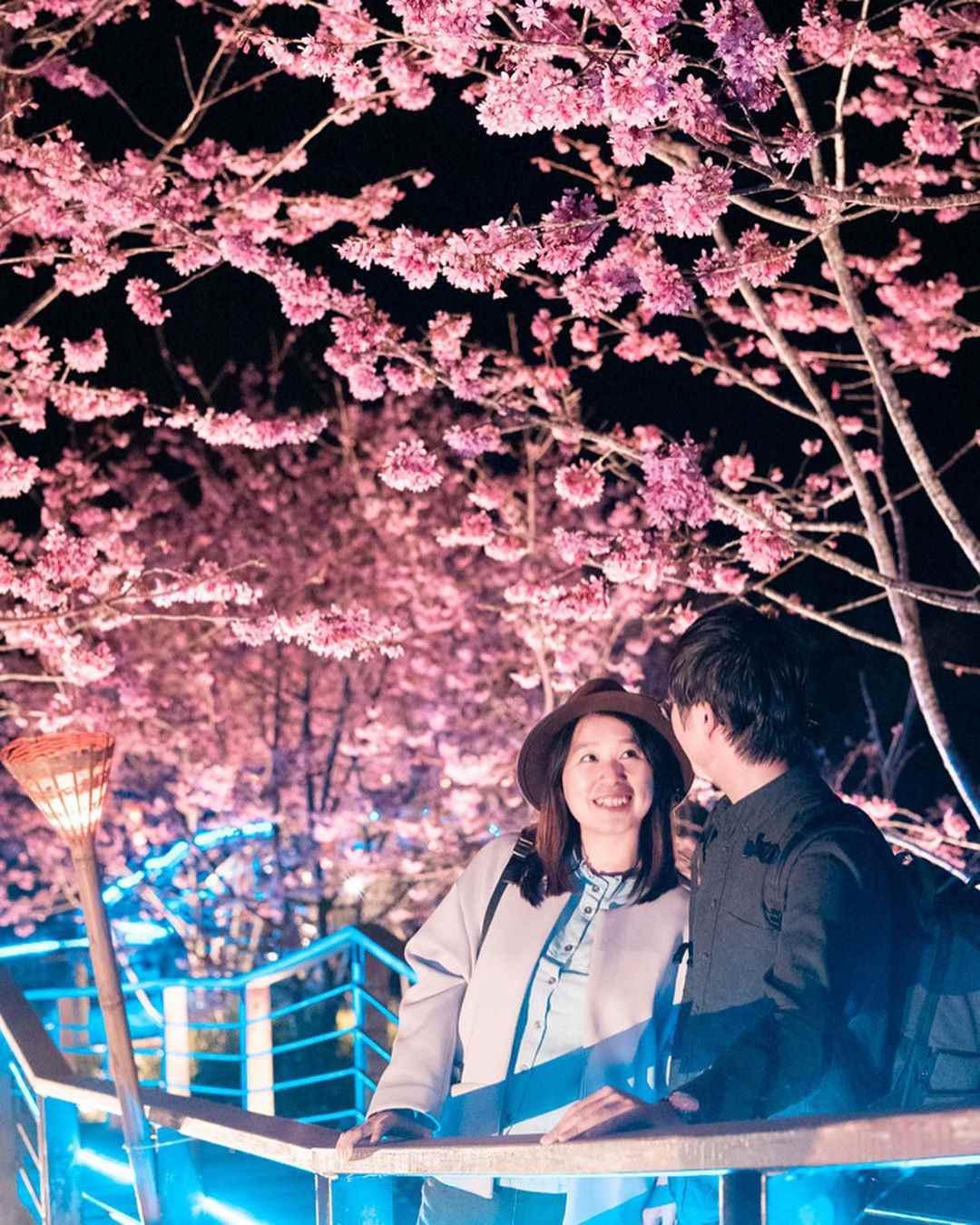 阿里山賞櫻 頂石棹夜櫻