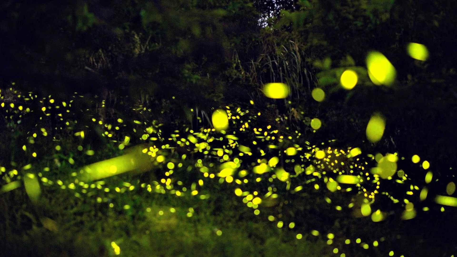 土匪山生態園區螢火蟲爆發