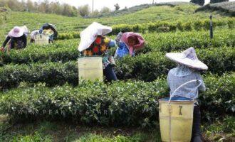 阿里山高山茶1