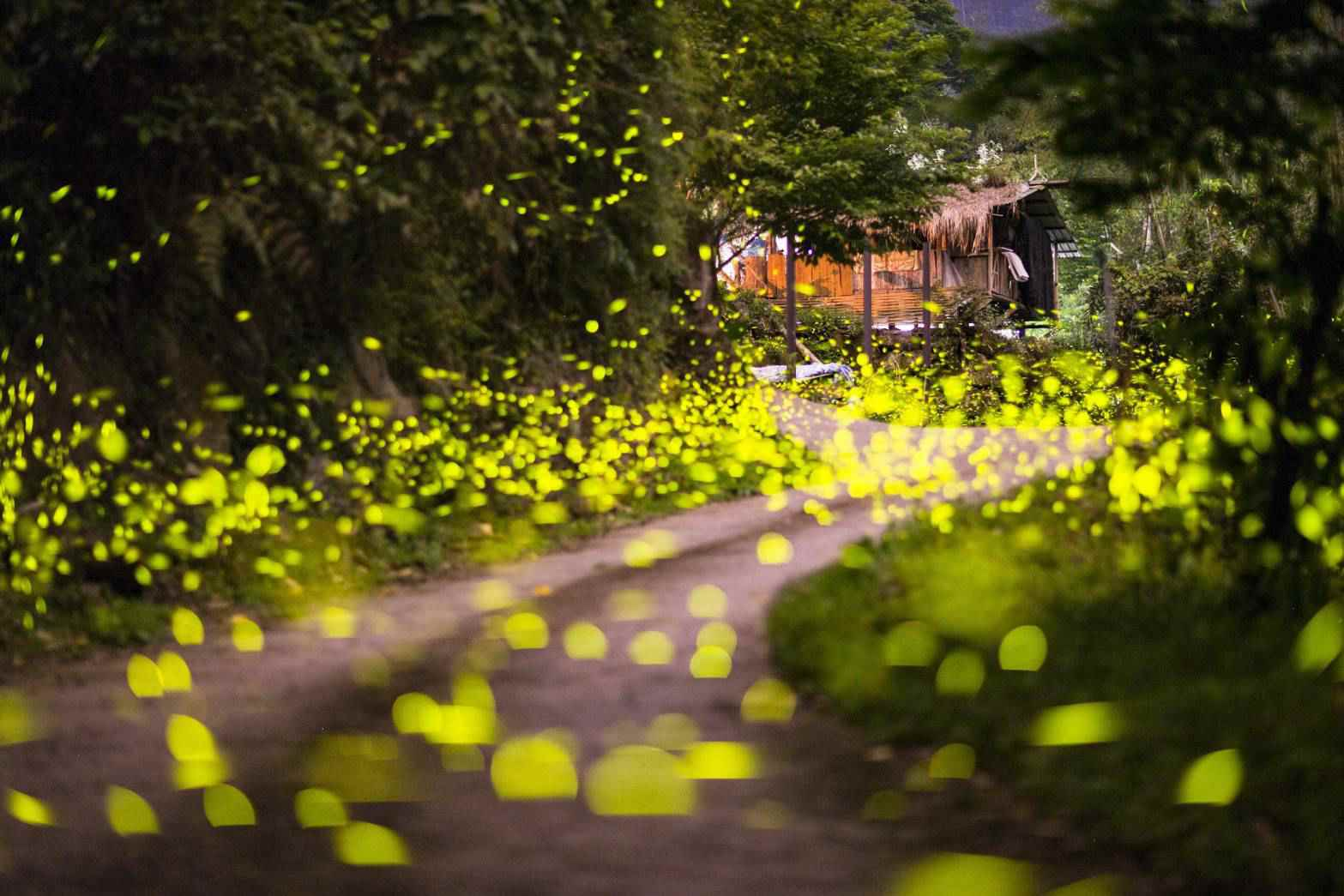 里佳社區螢火蟲盛況